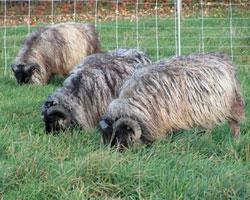 Icelandic Breeding Stock
