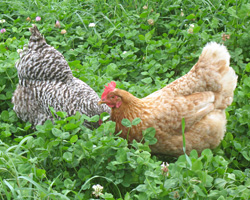 Laying hens diving in clover.