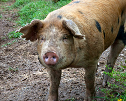 A happy pig with a cool, muddy face.