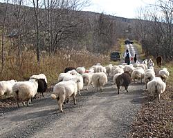 Lamb & Goat Shares