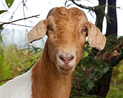 Head of the goat herd