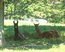Llamas need shade on hot days.