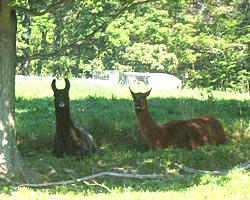 Llamas need shade on hot days.