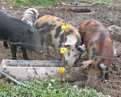 Ossabaw island pigs.