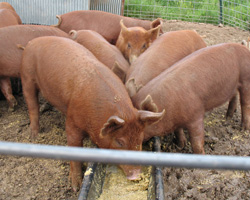 Young but chunky Tamworth piglets.